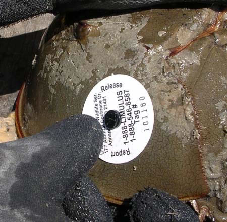 Disc tag on a horseshoe crab.